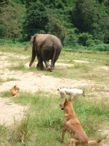 Elephants with Canines Underfoot