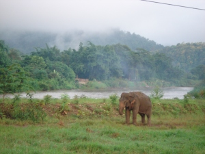 Elephant in the Morning Mist