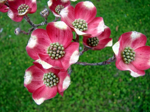 Early pink dogwood flowering heads by Martin LaBar on flickr